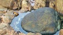 Une pieuvre sort de l'eau pour dévorer un crabe ...