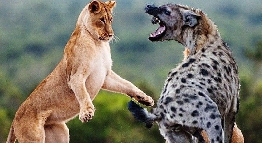 Lions vs. Hyenas - 2015