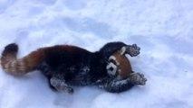Des pandas rouge comme des fous dans la neige : adorable