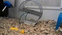 Un hamster fait de la roue d'une manière peu conventionelle