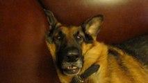 Berger allemand au réveil : dur dur même pour un gros chien!