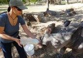 Orphaned Baby Rhino Gets Fed Through a Milk Bottle