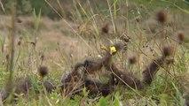 Haute-Loire: des brebis attaquées probablement par un loup