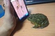Une grenouille joue avec les fausses fourmis d'un vrai iPhone
