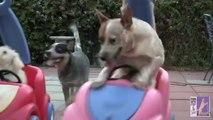 Des chiens font des courses de poussettes avec des chiens dedans