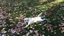 Une chienne va chercher la balle dans un tas de feuilles