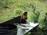 Ce singe fait sa lessive comme un humain
