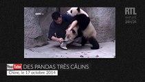 Ces pandas préfèrent les câlins aux médicaments