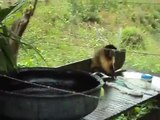 Un singe fait sa propre lessive!