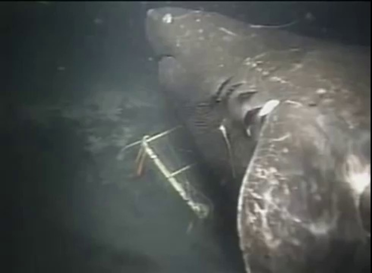 Megalodon caught on Camera