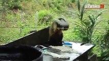 Au Brésil, un singe fait sa lessive