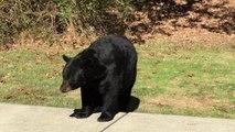 Un ours sauvage obéit aux ordres d'un homme