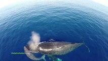 Un drone filme des centaines de dauphins et baleines