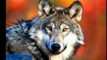 Nuevas ejecuciones de lobos en Picos de Europa zonas Asturias y Cantabria