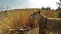 Vivre la chasse d'une lionne comme si vous y étiez : GoPro sur le dos de l'animal!