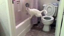 Un chat tente de faire ses besoins dans les toilettes