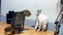 Bataille impressionnante entre deux chats
