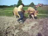 Essais d'un joug réglable chez laurent janaudy et ses deux vaches Aubracs 2014