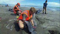 50 whales die after stranding in New Zealand