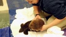 Bébé loutre adorable : nouveau venu dans l'aquarium de Shedd!