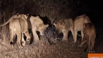 Porcupine Expertly Fends Off Pack of 17 Lions