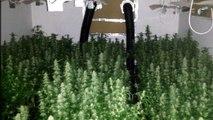 Saisie: 1 millier de plants de cannabis découvert