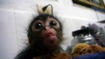 Un bébé singe prend son repas