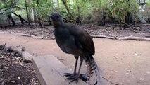 Un oiseau qui imite les bruits de lazer