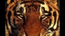 Le Tigre de Ferrière en Brie - Nous aussi on a eu une bête en liberté...