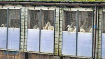 Bird Flu on British Farm May Be Linked to Dutch, German Cases