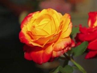 La Rose Henryane de Chaponay