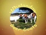 Boer Goat Kid Bleating Head Butt | South African Boer Goats | Raising Boer Goats For Profit