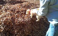 Un chiot jeté dans un énorme tas de feuilles