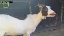 Keçilerin Gülmekten Şoka Sokan Sesleri
