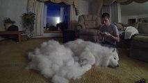Brosser un chien plus poilu qu'un mouton