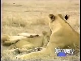 Crater Lions of Ngorongoro African Animals Wildlife Documentary, Discovery Channel