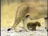 Nat Geo Wild Documentaries Full 2014 Crater Lions Of Ngorongoro Discovery Education Animals Full HD