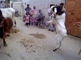 Goat & Cow Fighting Amazing video Must Watch - Pakistan Videos