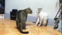 Cats Are Fighting In A Funny Way - Most Funny Cats Fighting Ever