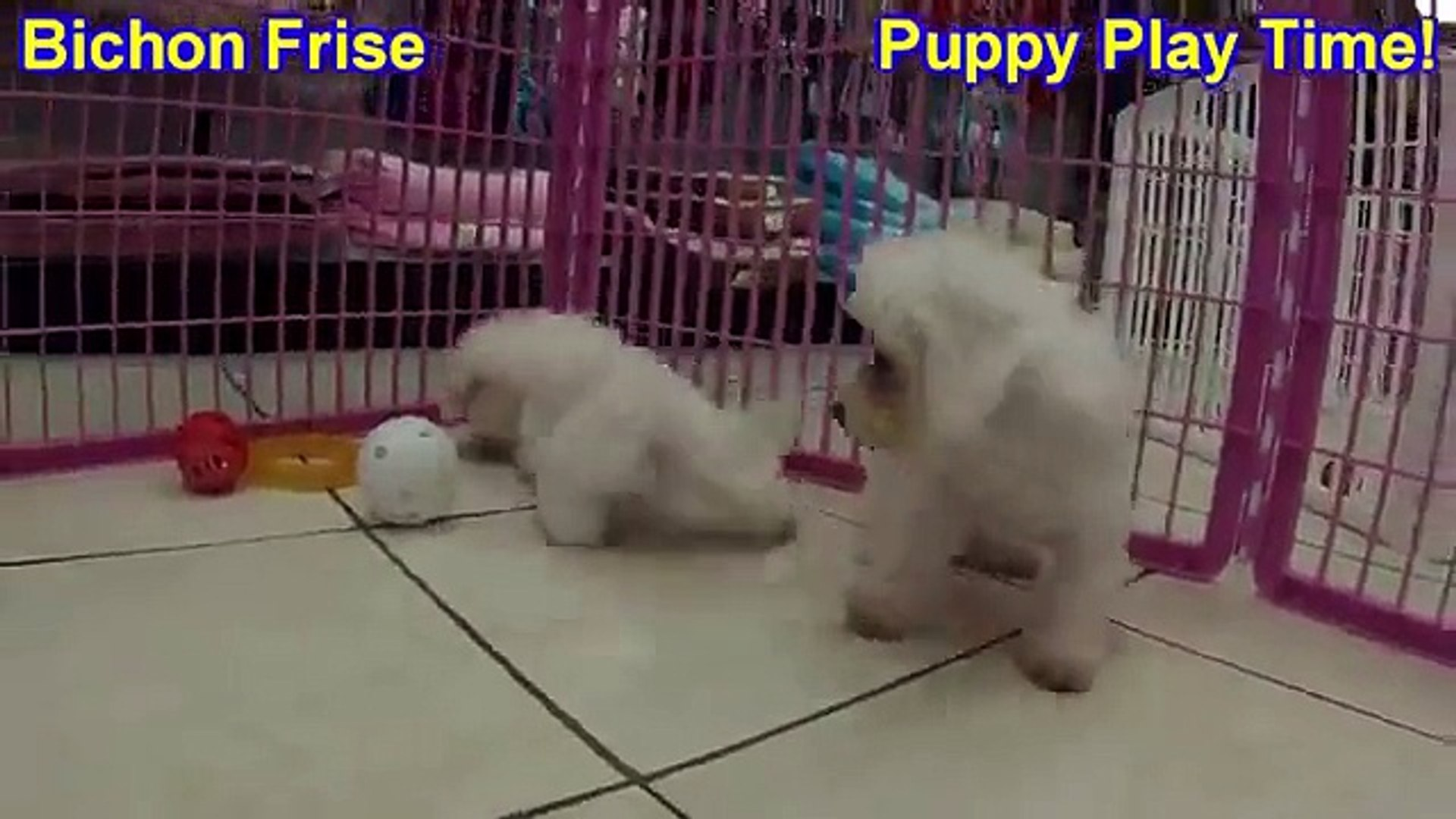 Bichon Frise, Puppies, For, Sale, In, Indianapolis, Indiana