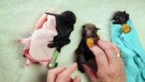 Cajoler des petites chauve-souris trop mignonnes!