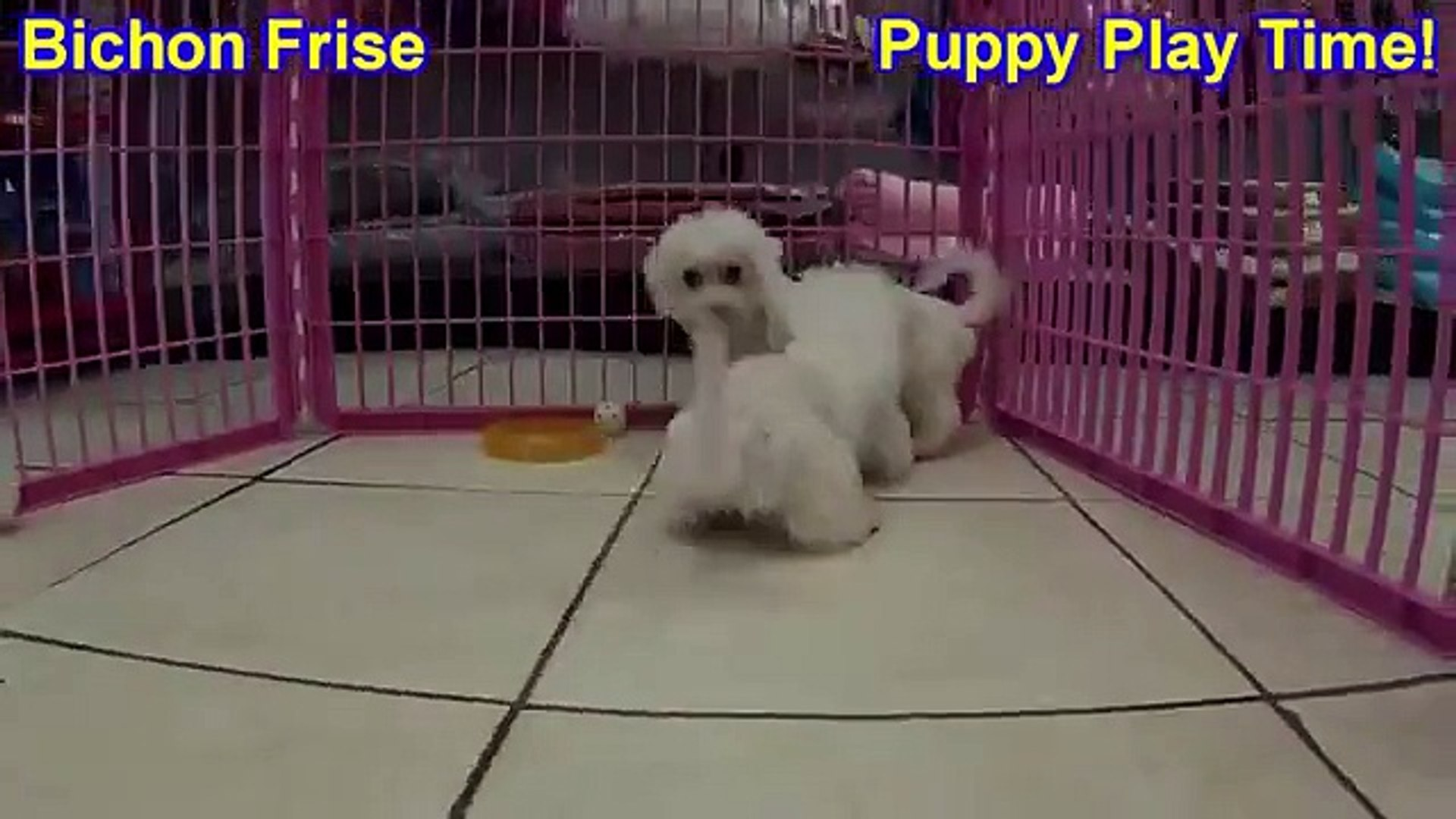 Bichon Frise, Puppies, For, Sale, in, Birmingham, Alabama, AL, Montgomery,  Tuscaloosa, Jefferson, Sh