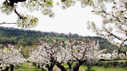 Balade au cœur des cerisiers en fleurs