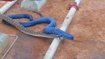 Blue Indigo Snake Dining On a Diamondback Rattlesnake