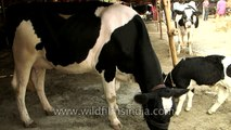 Overflowing milk from cow's udder - Cow ready for milking