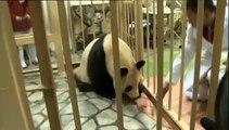 Deux bébés pandas naissent dans un zoo japonais