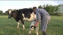 France 3 - Lait   séparation d'une vache et de son veau