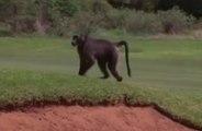 Un babouin s'invite sur un parcours de golf en pleine compétition