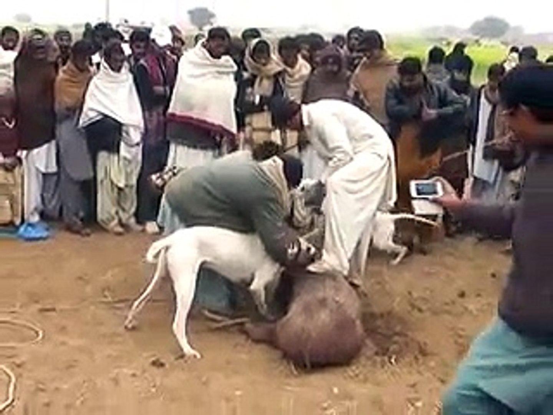 Pig Hunting Pakistan