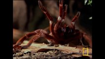 Tarentule : la plus grosse araignée du monde [National Geographic]